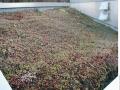 Sedum-roof